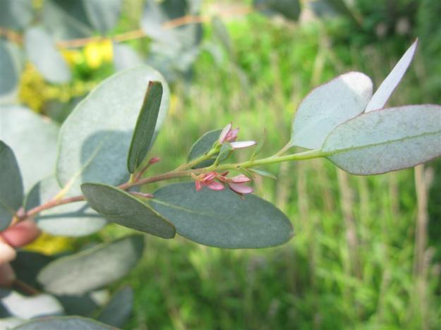 Eucalyptus Dui
