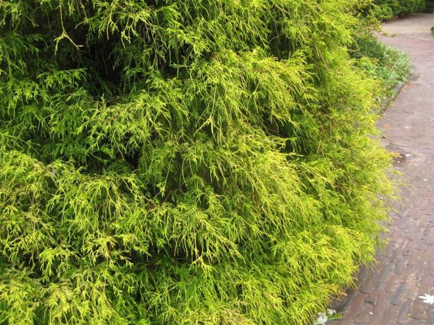 Chamaecyperus pisifera Filifera Aurea