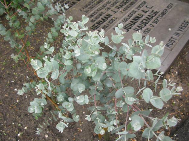 Eucalyptus gunnii Crooswijk