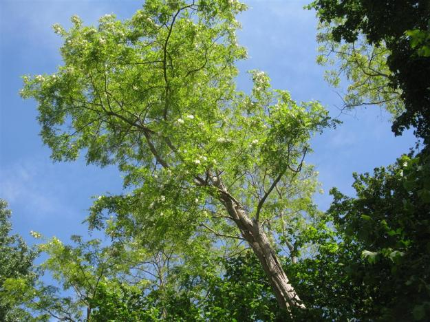 bloeiende Robinia pseudoacacia