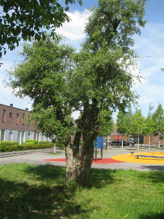 Quercus suber ZOost