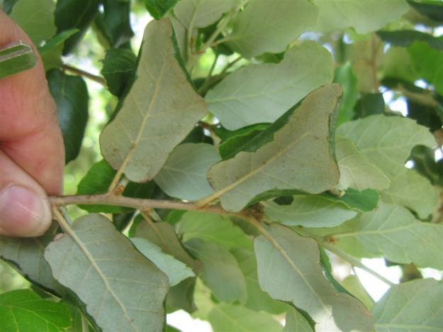 Quercus suber Zuidoost