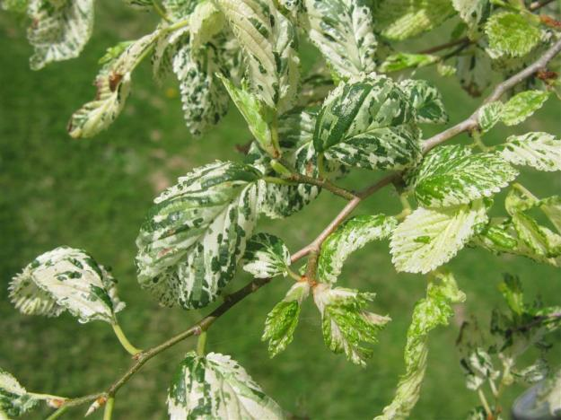 Ulmus minor `Variegata´
