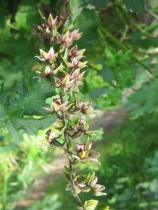 breedbladige wespen orchis