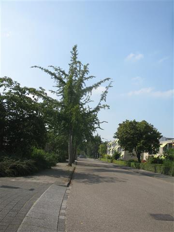 Ginkgo biloba Zonnenstein