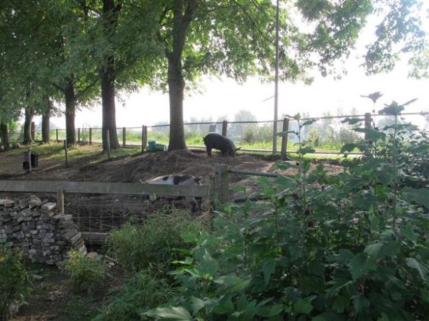 varkens op Klarenbeek aan de Amstel