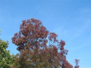 Fraxinus angustfolius Raywood