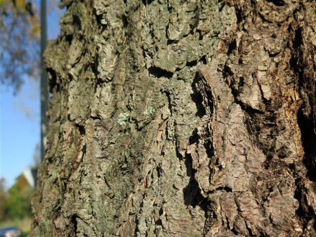 Betula nigra Oost