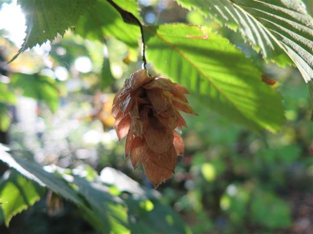 Ostrya carpinifolia Hortus