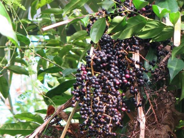 Pinanga coronata Hortuskas