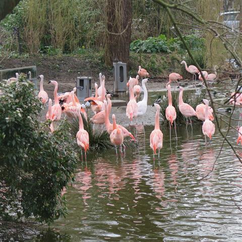 Flamingo in Artis