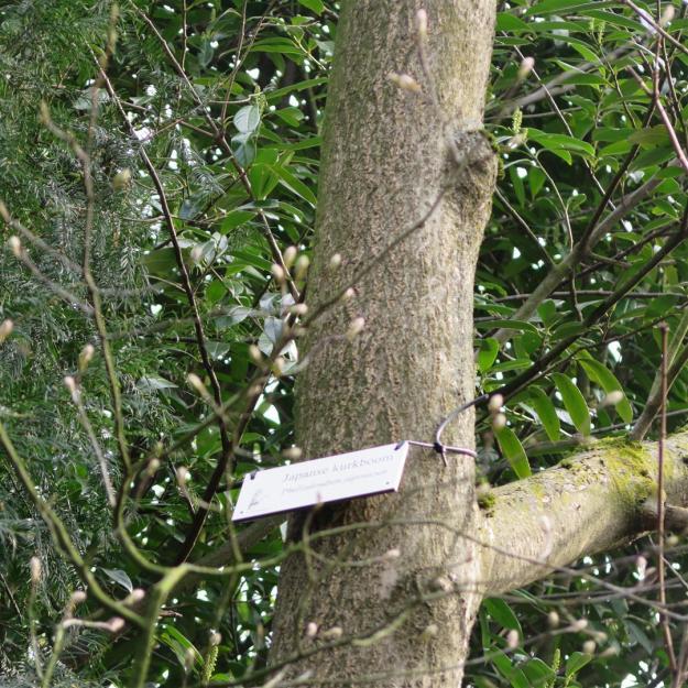 Phellodendron japonica