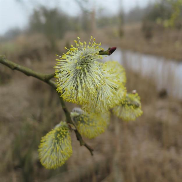 Salix klarenbeek