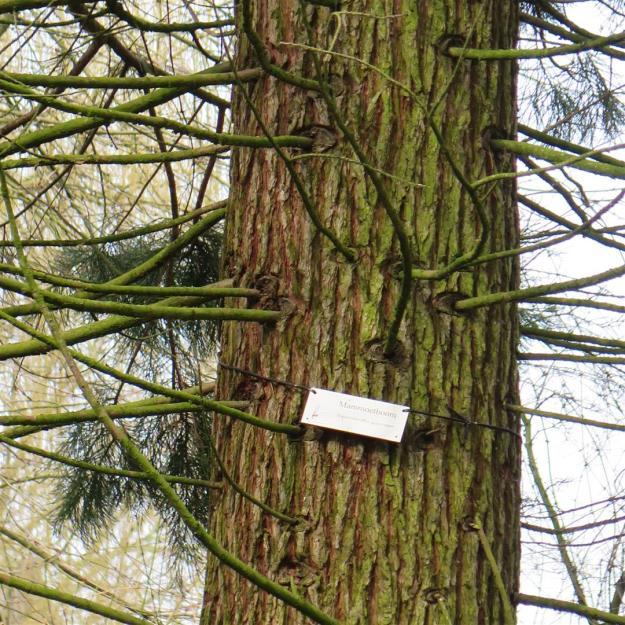 Sequoiadendron giganteum in Beatrixpark