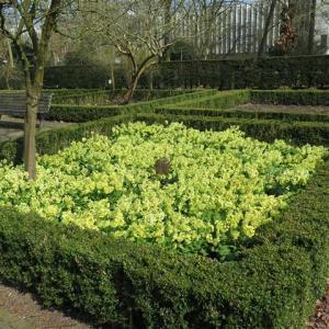 Primula vulgaris 03