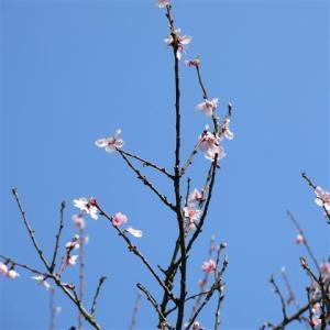 Prunus dulcis amandelboom